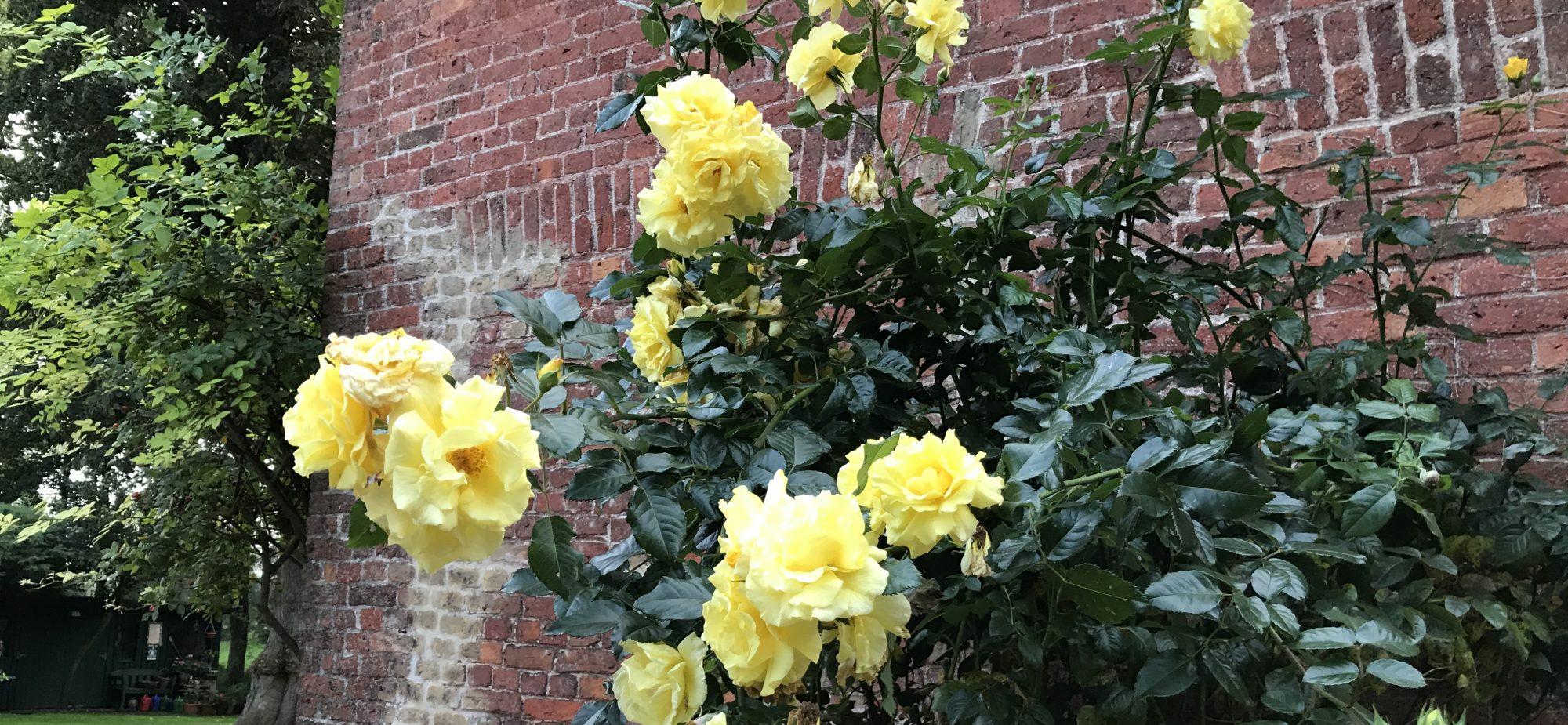 Heritage Roses - Die Schönheit der Rosen
